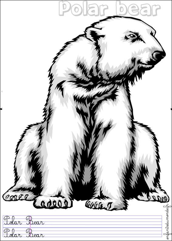 Coloriage d ours polaire - Ours polaire dessin ...