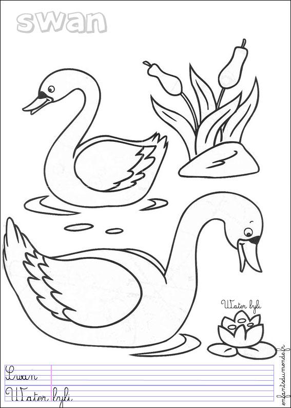 coloriage cygne 1 .:. Coloriages Oiseaux en anglais